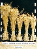 Ährenbündel der Winterweizensorte Capo von fünf Saatterminen aus dem Jahr 1994/95.