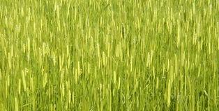 Einkornfeld Mitte Juni im leuchtenden Grün