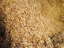 Gerstenkörner in der Malzherstellung