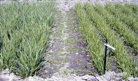 Dinkel (links, größer) in Relation zu Einkorn im Frühjahr nach früher Herbstaussaat